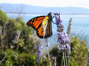 Butterfly in New Zealand 2010, © Silvio Suter